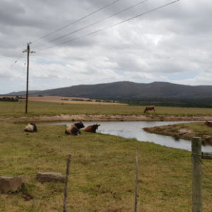 Livestock at the end of Papiesvlei